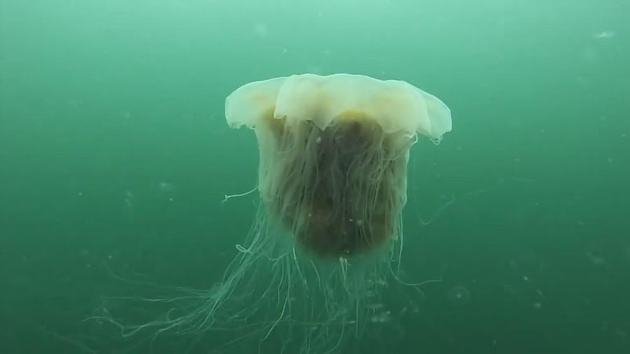 Sứa bờm sư tử - loài sứa khổng lồ, có nọc độc gây chết người
