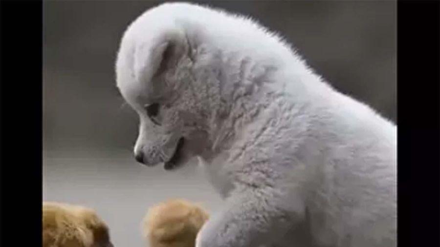 Khoảnh khắc cún con nô đùa với gà con 'đốn tim' cư dân mạng