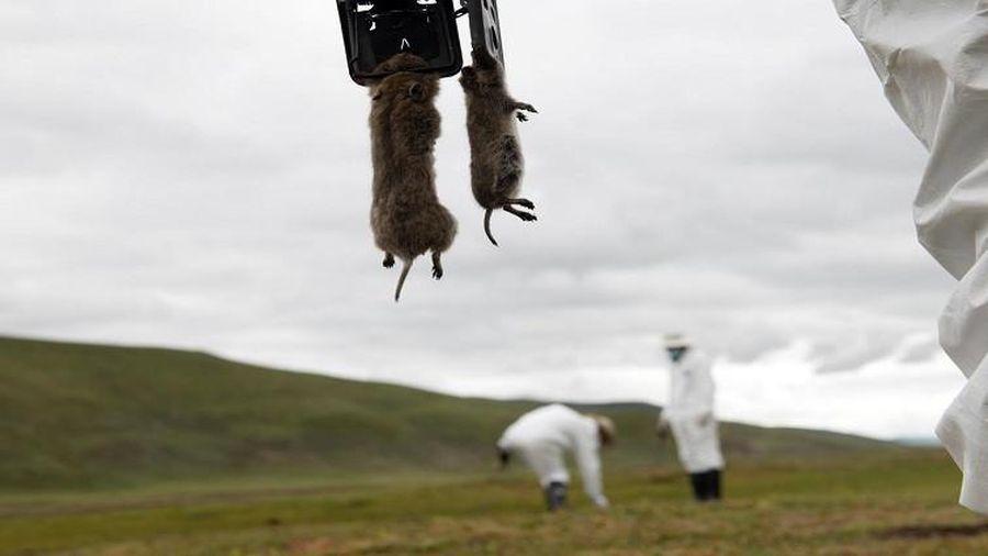 Ngăn chặn dịch hạch, Nga cấm săn sóc đất ở biên giới với Trung Quốc, Mông Cổ