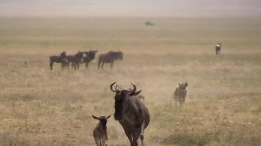CLIP: Linh dương đầu bò mới sinh thoát chết thần kỳ khi bị linh cẩu truy sát
