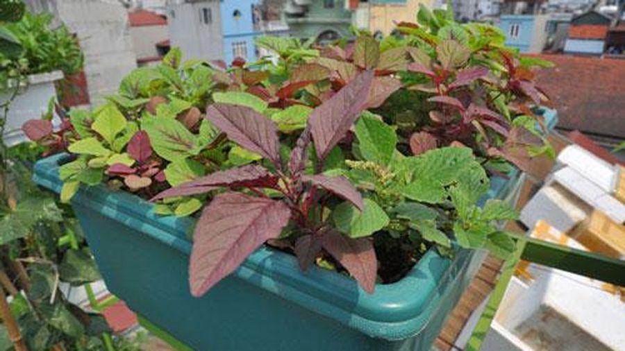 CLIP: Kỹ thuật trồng và chăm sóc rau dền đơn giản, hiệu quả tại nhà