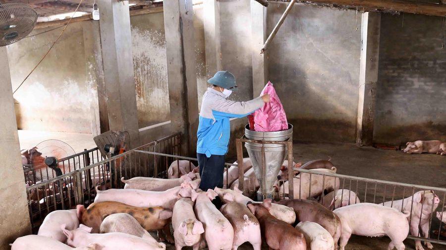Các hộ chăn nuôi nhỏ lẻ chưa nên tái đàn sau dịch tả lợn châu Phi