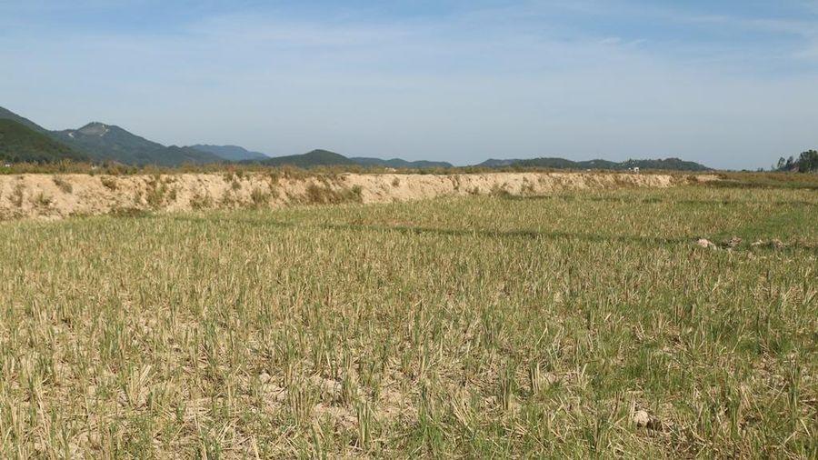 Nắng nóng gay gắt, hơn 13 ngàn ha lúa hạn nặng