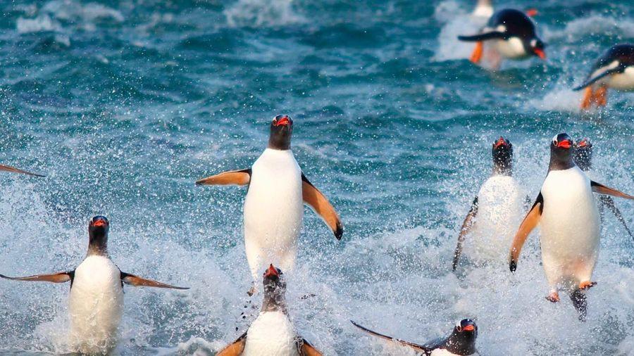 Hòn đảo chỉ có 2 người sống cùng 10.000 con chim cánh cụt