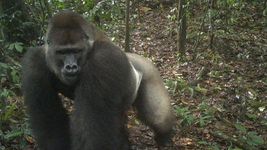 Bẫy ảnh lần đầu chụp được loài khỉ đột hiếm nhất thế giới