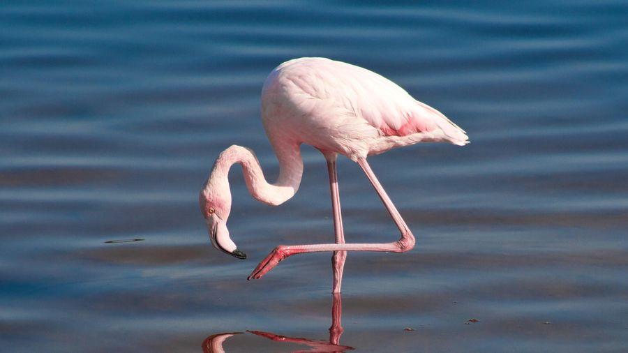Vì sao chim hồng hạc đứng một chân?