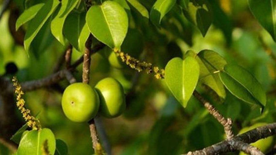 10 loài cây độc nhất thế giới