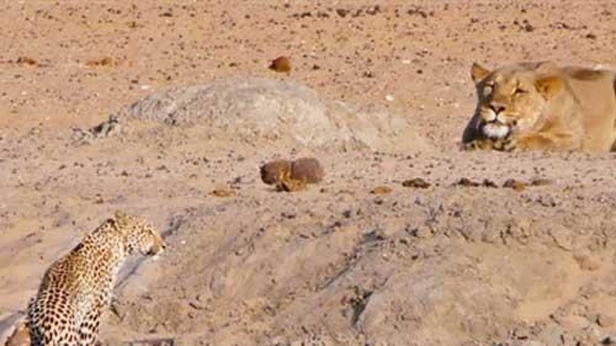 Sư tử 'chơi lớn' săn báo đốm: Cái kết ngỡ ngàng