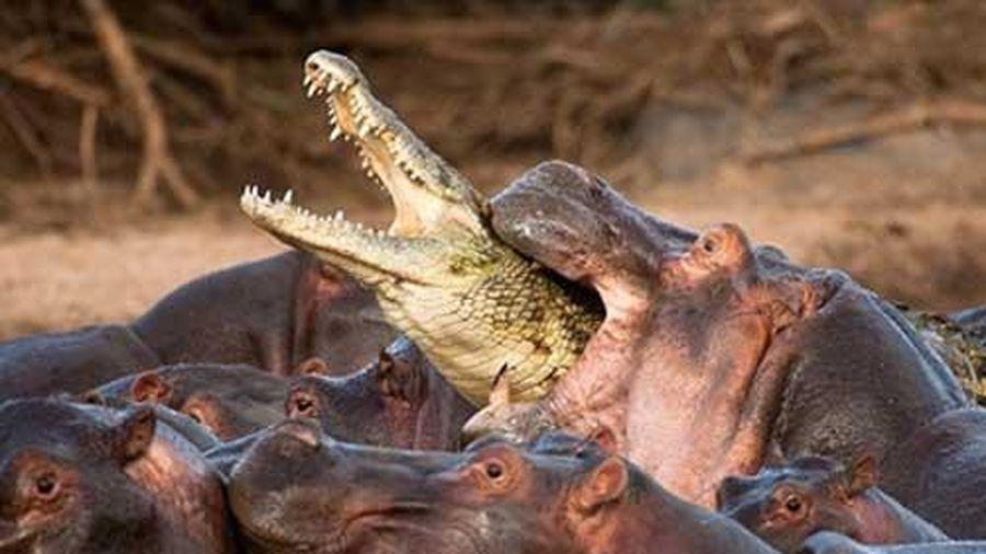 Săn hà mã con, cá sấu bị cả đàn cắn chết