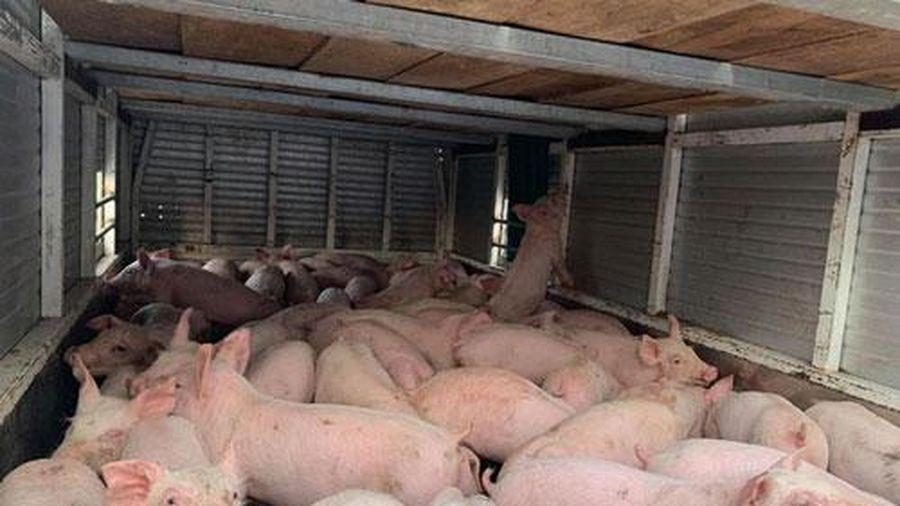 Thêm 1.000 con lợn sống từ Thái Lan nhập về Việt Nam