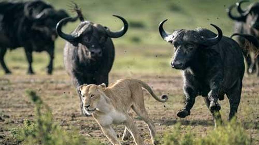 Không lượng sức, sư tử nhận cái kết bẽ bàng