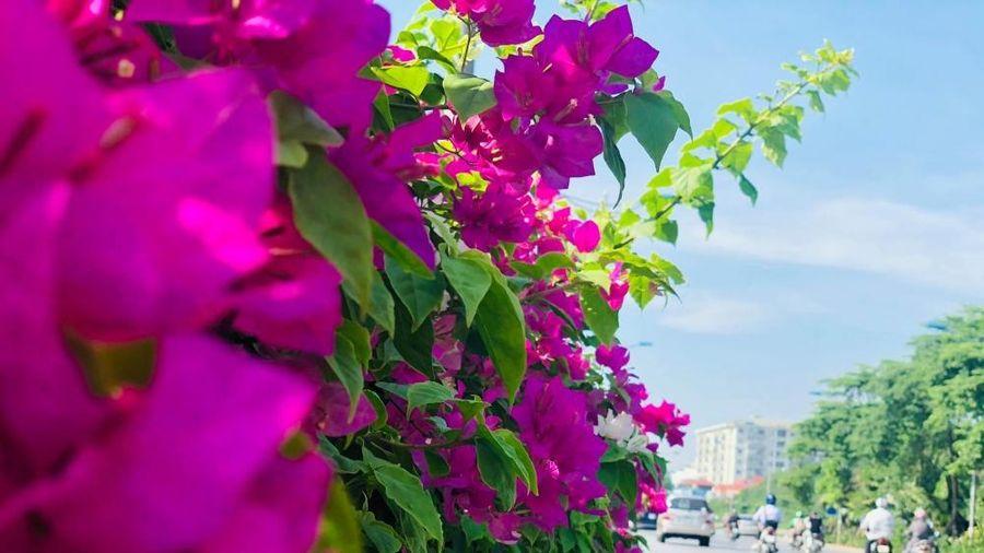 Độc đáo con đường phủ đầy hoa giấy ở Hà Nội