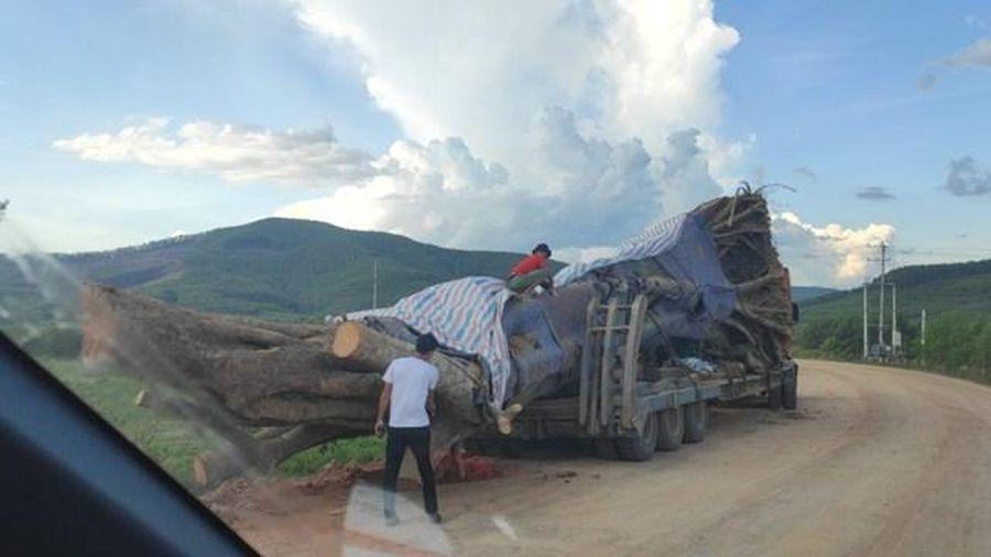Cây cổ thụ khổng lồ 'âm thầm' rời khỏi Nghệ An