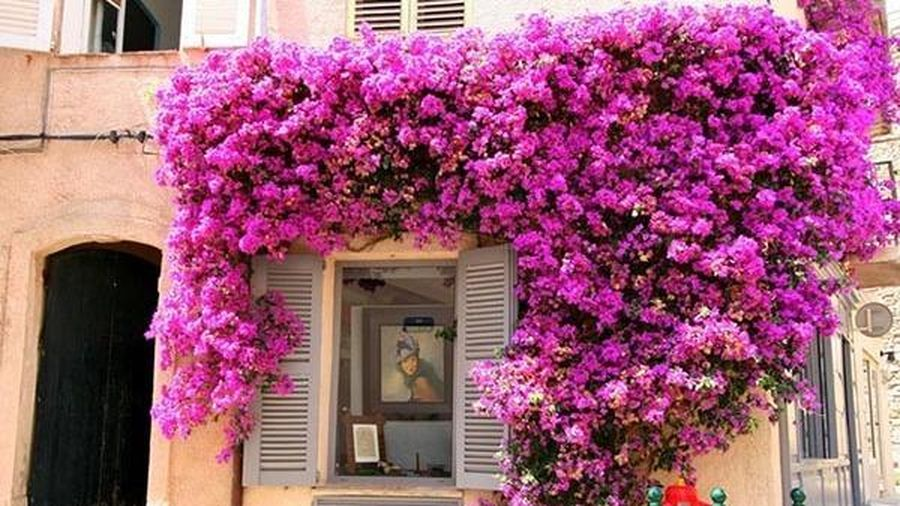 Phong thủy không ngờ từ những cây hồng leo, hoa giấy bám quanh nhà