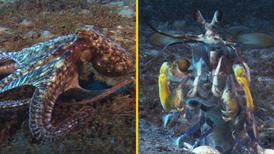 Cuộc đọ sức 'một 9 một 10' giữa bạch tuộc và bề bề