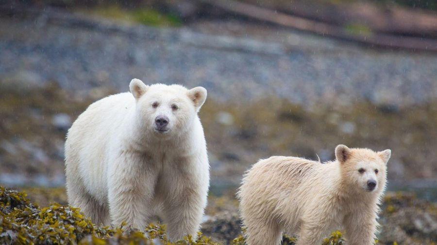 Phát hiện thú vị về những con gấu trắng linh thiêng của thổ dân Canada