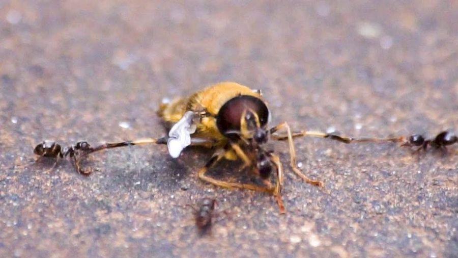 Đàn kiến tấn công hạ gục ong bắp cày khổng lồ xâm lấn tổ