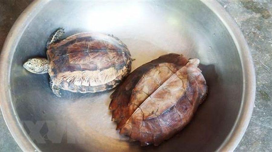 Người dân tự bỏ tiền mua lại hai cá thể rùa quý hiếm để thả về rừng