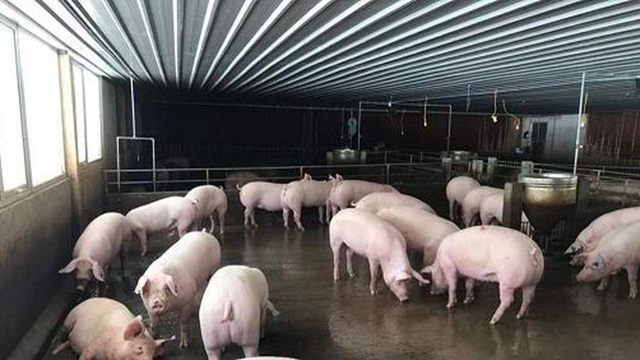 Nhiều địa phương hỗ trợ cả trăm triệu đồng/hộ khi tái đàn lợn