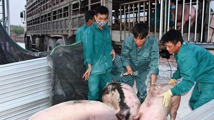 Quý 3/2020 doanh nghiệp chăn nuôi lớn sẽ có lợn giống bán ra ngoài