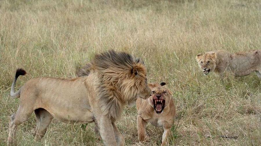 Không săn được mồi, sư tử xé xác đồng loại ngay trước mặt 'bạn tình'