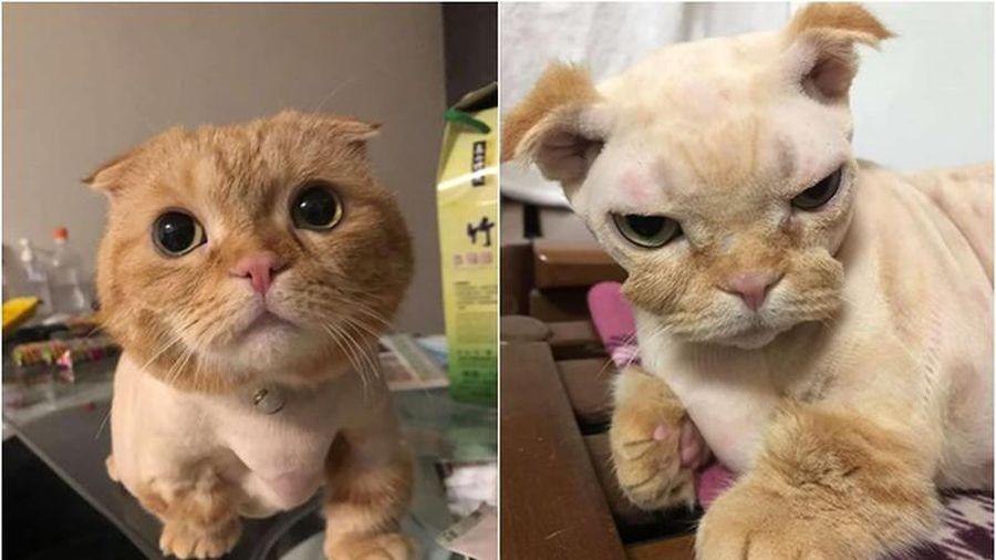 Đang yên bị lôi ra cắt lông, chú mèo khiến dân tình sửng sốt