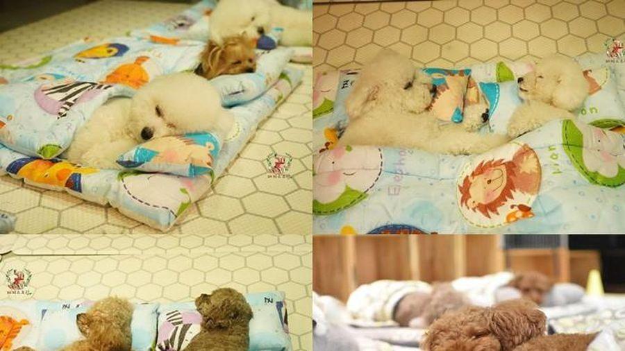 Trường mẫu giáo dành riêng cho các chú chó, cũng học hành, bán trú như ai!