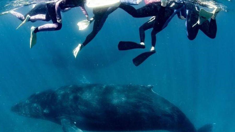 Gặp nạn khi bơi cùng cá voi lưng gù, một người bị thương