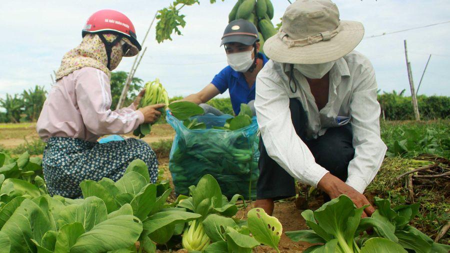 Nông dân hái rau hỗ trợ các khu cách ly ở Quảng Ngãi