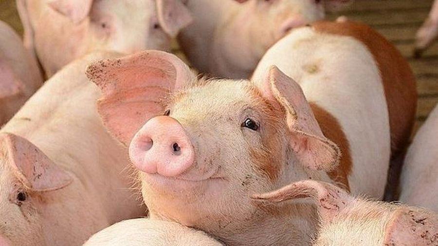 Giá lợn hơi hôm nay 4/8: Điều chỉnh nhẹ từ 1.000 - 2.000 đồng/kg tại cả 3 miền