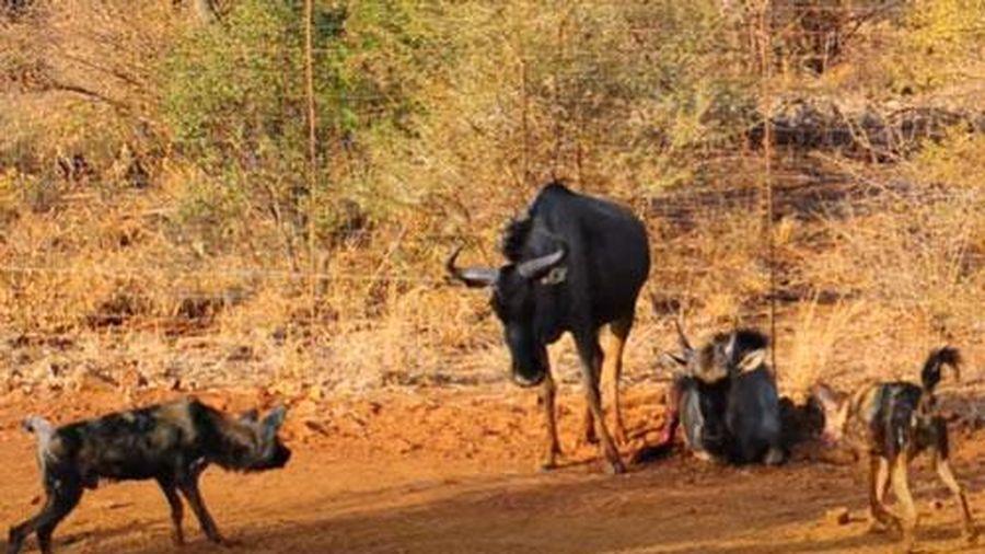 CLIP: Linh dương đầu bò đối đầu đàn chó hoang để bảo vệ con