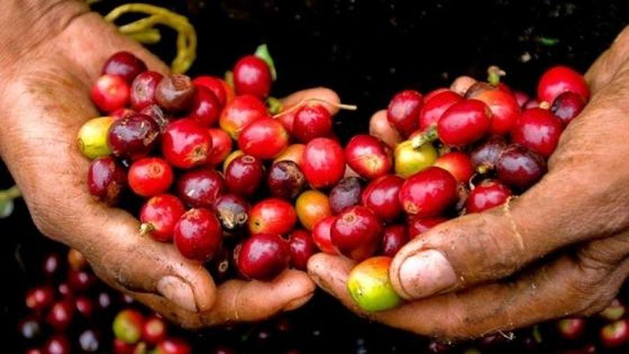 Giá cà phê hôm nay 5/8: Tăng sốc, lập kỷ lục đỉnh mới kể từ đầu năm đến nay