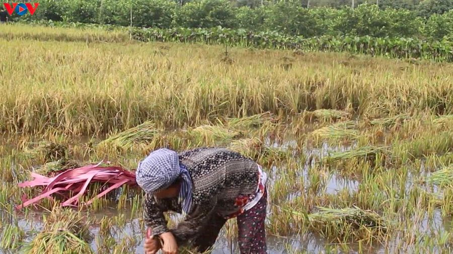 Hơn 2.300ha lúa ở Hậu Giang bị thiệt hại do mưa lớn và dông lốc