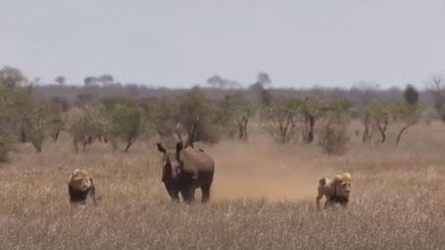 CLIP: Tê giác 'cà khịa' hai con sư tử đực