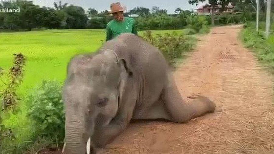 Bị quất một roi, chú voi liền lăn đùng ra đường ngúng nguẩy ăn vạ khiến anh chủ dù giận tím mặt vẫn phải xuống nước dỗ dành 'gãy lưỡi'!