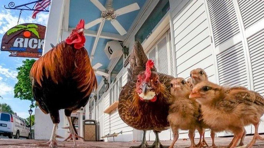 Hòn đảo Mỹ bị hàng nghìn con gà hoang xâm chiếm