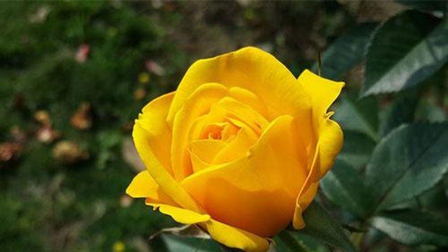 Ý nghĩa hoa hồng vàng là gì? Truyền thuyết loài hoa này