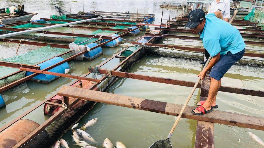 Xác định nguyên nhân khiến cá bè chết đồng loạt trên sông Đồng Nai