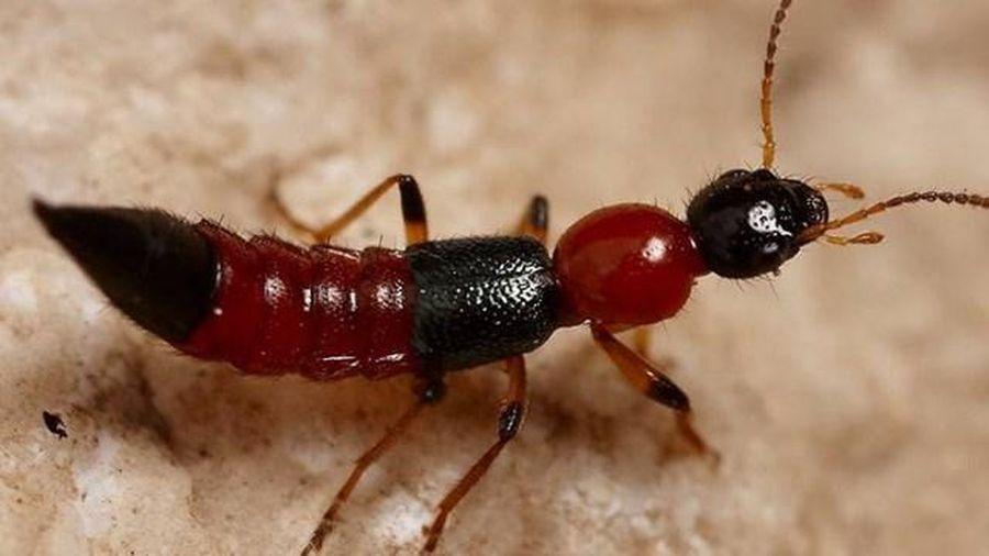 Cảnh giác với viêm da do kiến ba khoang