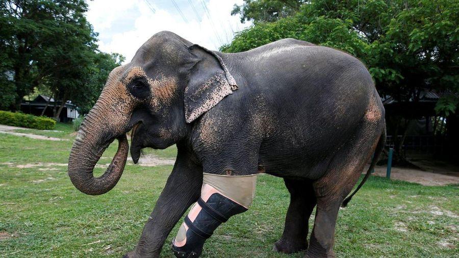 Người đàn ông Thái Lan làm chân giả cho voi
