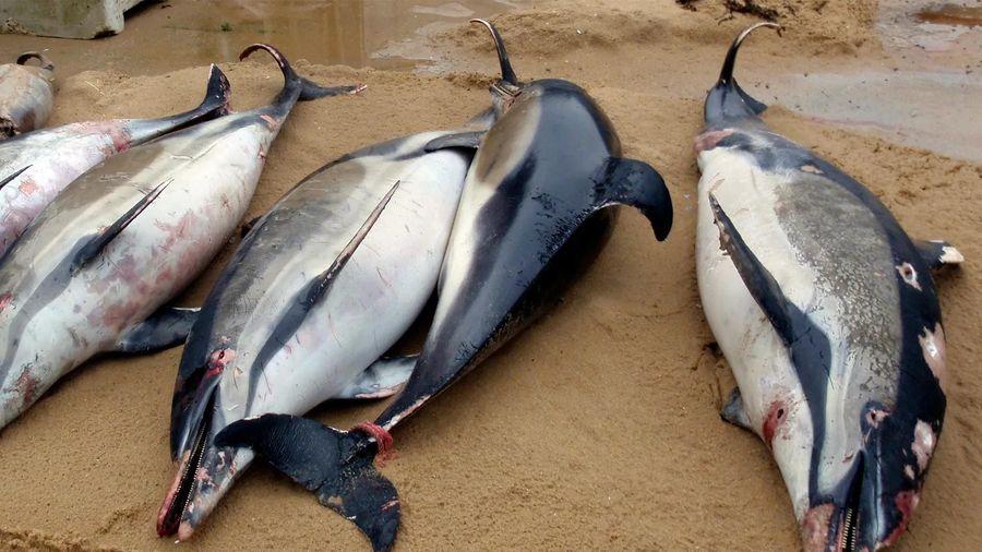 Tiếng ồn đại dương đang giết chết cá voi và cá heo