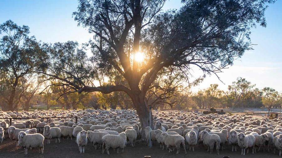 68 triệu con cừu Australia không ai xén lông cho vì Covid-19