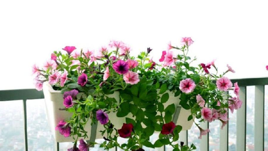 Nên trồng loại cây nào trên ban công để hợp phong thủy?
