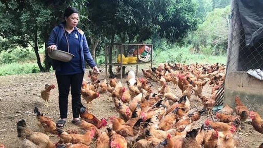 Quảng Bình: Phát triển mô hình nuôi gà thả vườn