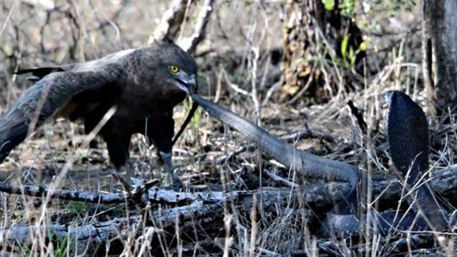 Đại bàng tính thịt rắn hổ mang: Kết không như mơ
