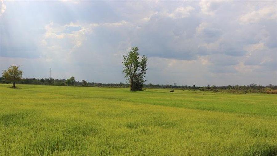Xuất khẩu gạo gia tăng về giá trị