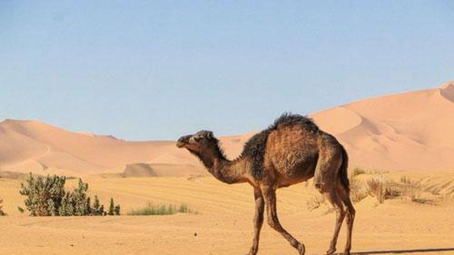 Cảm động chú lạc đà thông minh vượt 100 km tìm đường về nhà