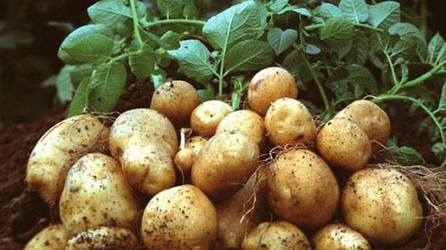 Sai lầm khi chế biến và ăn khoai tây khiến nội tạng bị phá hủy mà nhiều người Việt vẫn phạm phải