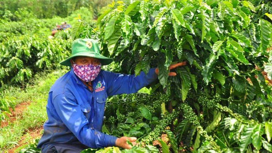 Đẩy mạnh sản xuất cà phê chất lượng cao