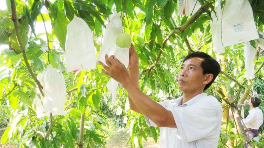 Đồng Tháp: Khuyến khích trồng xoài rải vụ gắn với tiêu thụ